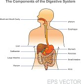 The human digestive system consists of the gastrointestinal tract plus the accessory organs of digestion (the tongue, salivary glands, pancreas, liver, and gallbladder). In this system, the process of