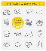 The internals and body parts outline icon set. The viscera and external human organs. Digestive, respiratory, urogenital, nervous systems line symbols. Thin linear vector icons with editable strokes.