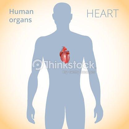 Die Lage Des Herzens Im Körper Das Menschliche Herzkreislaufsystem ...