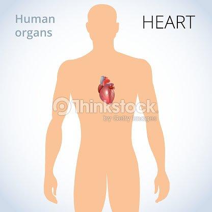 La Ubicación Del Corazón En El Cuerpo El Sistema Circulatorio Humano ...