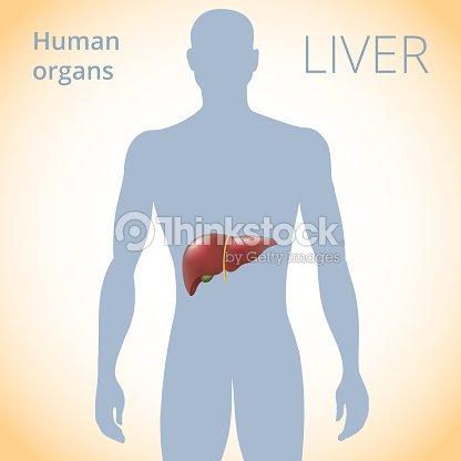 Die Lage Der Leber Im Körper Das Menschliche Verdauungssystem ...