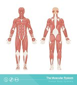 The human muscular system vector illustration, front and rear view