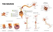 Neuron detailed anatomy illustrations bundle set. Neuron types, myelin sheath formation, organelles of the neuron body and synapse.