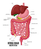 Vector Illustration Of The Part Of Internal Human Digestive System Illustration