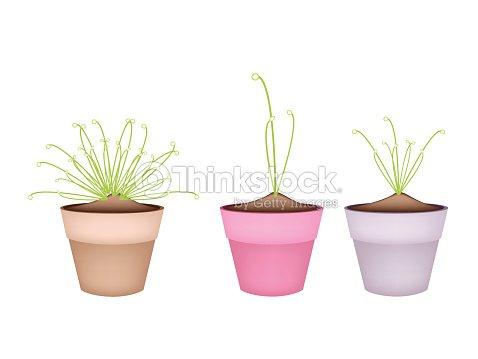 Trois Cyperus Papyrus Plantes En Pots De Fleurs En Céramique