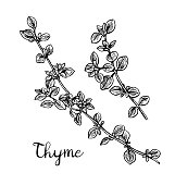 Thyme ink sketch. Isolated on white background. Hand drawn vector illustration. Retro style.