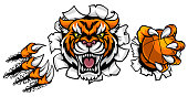 A Tiger angry animal sports mascot holding a basketball ball and breaking through the background with its claws