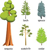 Tree icon set - Coniferous Trees cartoon illustration. Flat Coniferous Trees collection: big sequoia, spruce, larch, scotch fir and cedar for web. Vector illustration isolated on white background