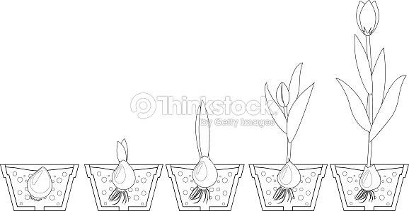 Tulipano Fase Di Crescita Materiale Da Colorare Arte Vettoriale