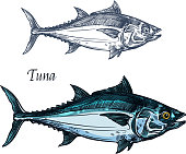 Tuna fish vector sketch icon. Isolated sea or atlantic mackerel scombridae fish species. Isolated marine fauna symbol for seafood or fish food restaurant sign emblem, fishing club or fishery market