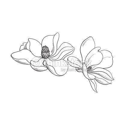 two pink magnolia flowers sketch vector illustration ベクトルアート