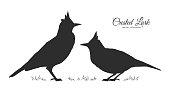 Vector illustration: Two Silhouette of Crested Lark. Little birds