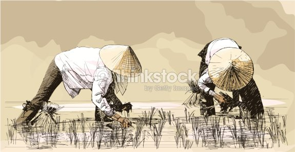 Two women harvesting rice in asia vector art