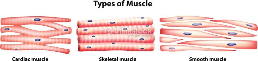 Arten Von Muskeln Vektorgrafik   Thinkstock