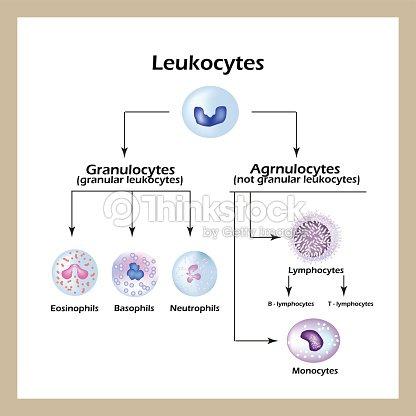 Wondrous Types Of White Blood Cells Infographics Vector Illustration Stock Wiring Database Liteviha4X4Andersnl