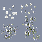 Vector isolated Baby's Breath flowers
