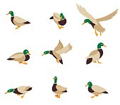 Cartoon caricature domestic duck and cartoon duck comic happy animal. Vector bird icon collection. Vector illustration in a flat style isolated on white background.
