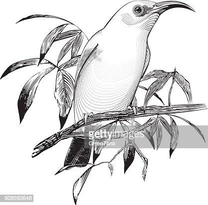 vector de pájaro : Arte vectorial