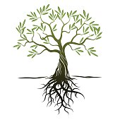 Vector Color Olive Tree with green Leafs and Roots