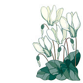 Vector corner bouquet with outline pastel white Cyclamen or Alpine violet bunch, bud and leaf isolated on white background. Perennial Alpine mountain flowers in contour style for spring design.