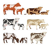 Vector cow and calf collection isolated on white for farms, groceries, packaging and branding