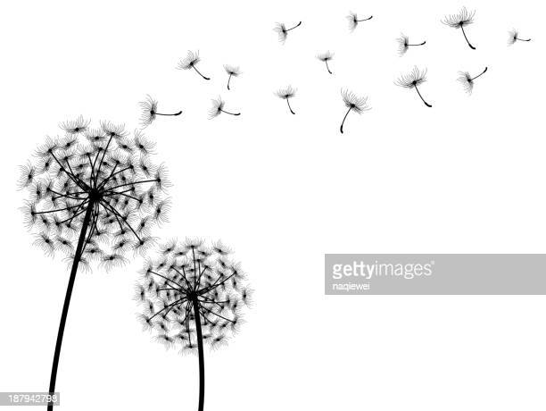 vector dandelion with white background