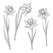 vector drawing flowers of narcissus, daffodils, isolated floral element, hand drawn illustration