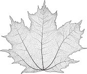 Vector drawing of a maple leaf. The veins on the leaves of the maple.