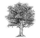 Vector hand drawing drawn illustration of tree.