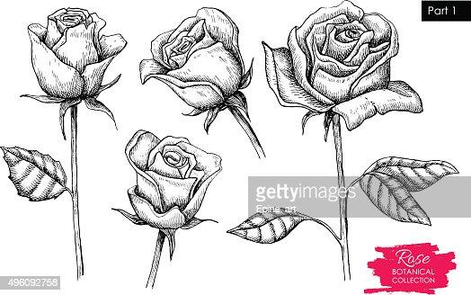 Rosen bleistiftzeichnung  Vektor Hand Gezeichnete Botanical Rose Set Graviertes Kollektion ...