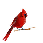 Vector illustration of red cardinal bird isolated on white