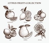 Vintage Ink hand drawn collection of citrus fruits isolated on white background.