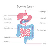 Vector isolated illustration of human digestive system anatomy. Esophagus, stomach, duodenum, pancreas, intestine, gallbladder, liver icon. Medical information poster. Internal organ symbol design.