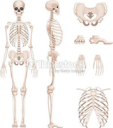 Vektorillustration Des Menschlichen Skeletts In Verschiedenen Seiten ...