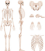 Vector illustration of human skeleton in different sides. Bones of arms, legs. Skull and skeleton human anatomy