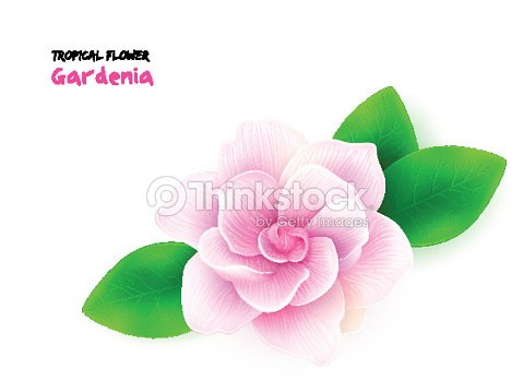 Vector illustration of isolated realistic subtropical blooming gardenia flower with leaves