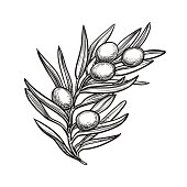 Hand drawn vector illustration of olive branch. Isolated on white background. Retro style.