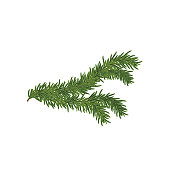 Vector illustration of the Spruce branch.