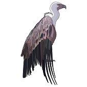 Vector illustration of vulture. EPS 10
