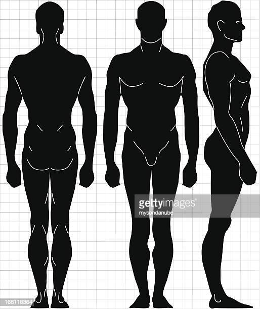 vector male human body proportion