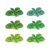 Vector Mint Spearmint Peppermint Leaf Leaves Set Isolated