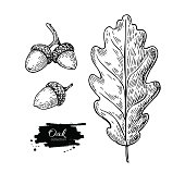 Vector oak leaf and acorn drawing set. Autumn elements. Hand drawn detailed botanical illustration. Vintage fall seasonal decor. Great for label, sign, icon, seasonal decor