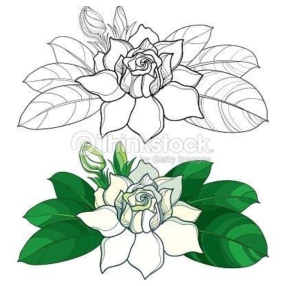 Esquema De Vector Flor De Gardenia Brote Y Hojas Adornados En Color ...