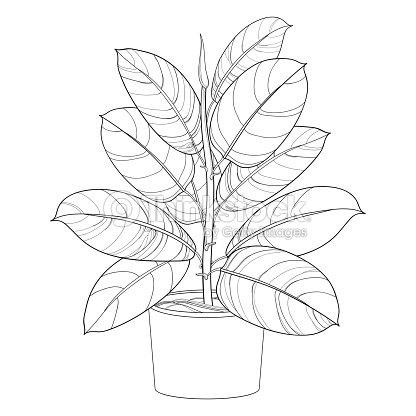 Vector De Contorno Ornamental Planta De Interior Ficus Elástica O ...