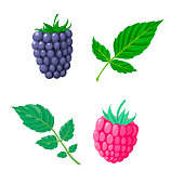 vector raspberry and blakcberry with green leaves isolated at white background