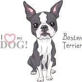 Vector Serious dog Boston Terrier breed sitting