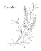 Beautiful boquet of lavender flowers.  Doodle, line art
