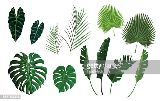 Vector tropical palm leaves, jungle leaves set : stock vector