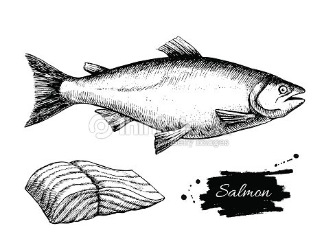 Vector Vintage Salmon Drawing Hand Drawn Monochrome
