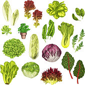 Vegetable greens, salad leaf and herbs watercolor illustration set. Fresh leaf lettuce, spinach, arugula, chinese cabbage, bok choy, iceberg and romaine lettuce, chicory, corn salad, sorrel and chard